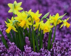 09-25-08_Daffodils